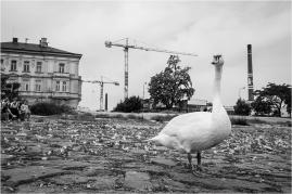 Praha 5, Smíchov - náplavka, labuť